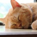 お昼寝中の猫