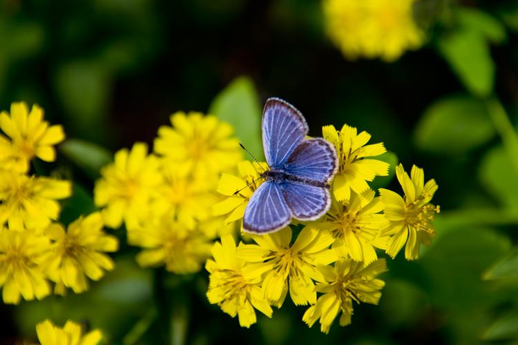 黄色い花にとまる蝶