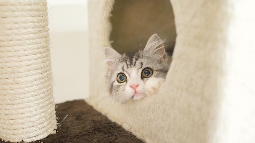 猫タワーから顔を出す(スコティッシュフォールド)