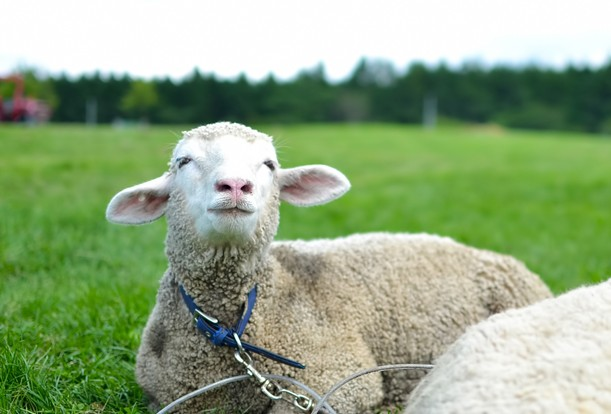 空を見上げる羊さん