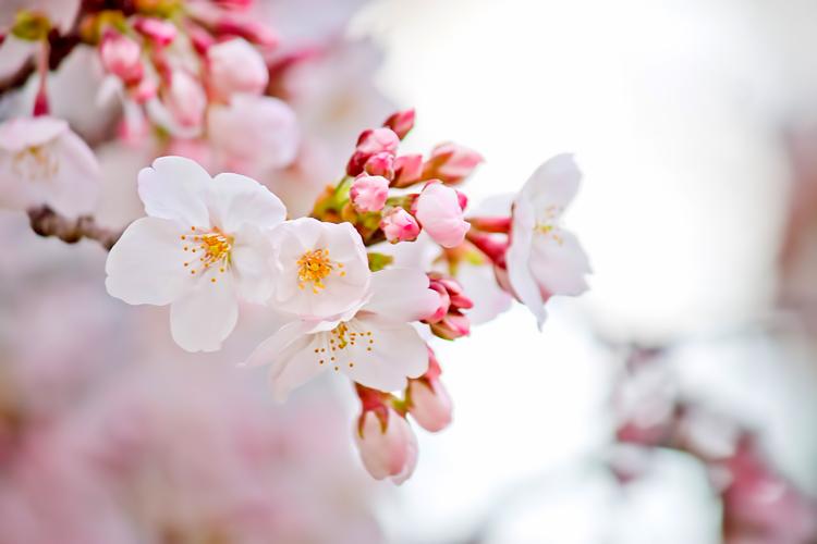 咲き始めた桜