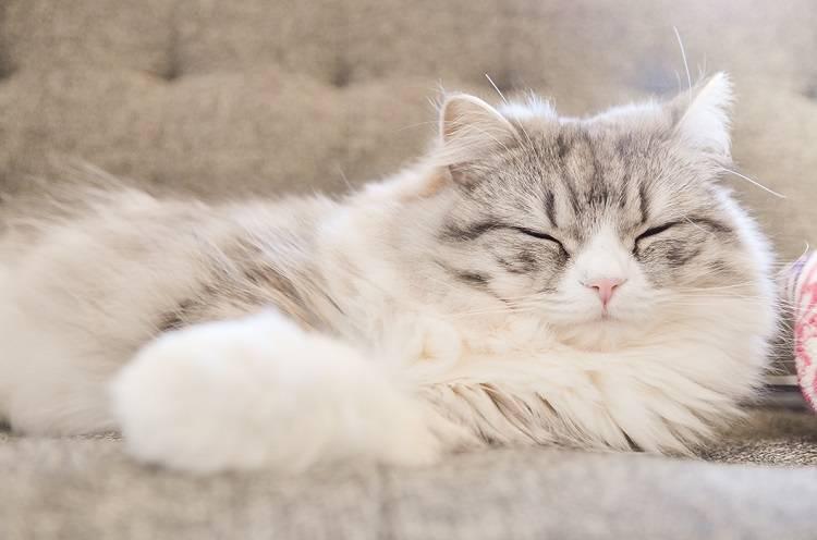 ソファーで寝てるメス猫