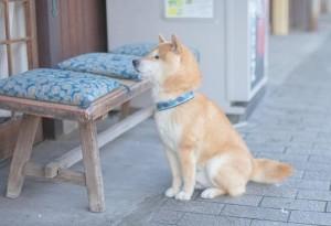 主人を待つ柴犬