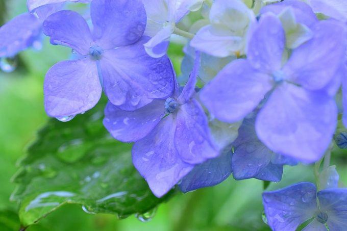 雨に濡れるアジサイ