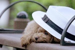 帽子の下からのぞくワンコ
