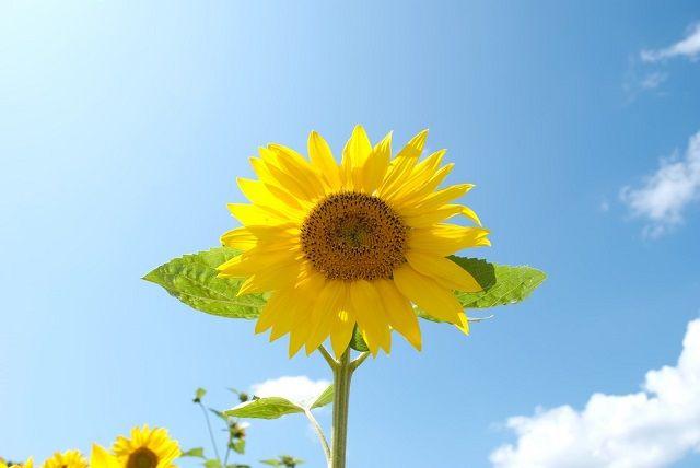 日差しを受けて咲くひまわり