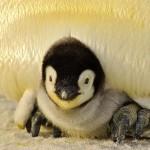 子ペンギン
