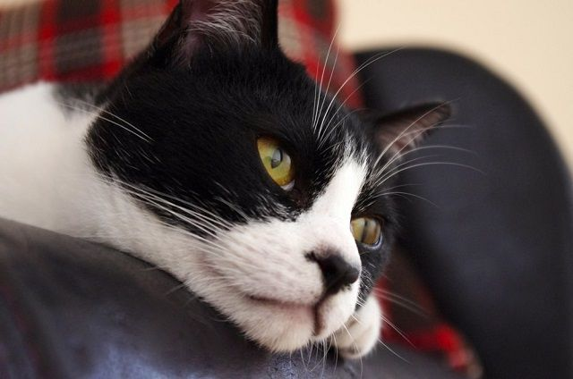 ソファから顔を出す猫