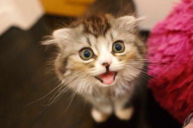 ミャーと鳴いてるオス猫