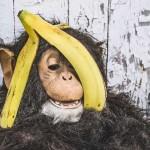 バナナの皮に隠れようとするチンパンジー