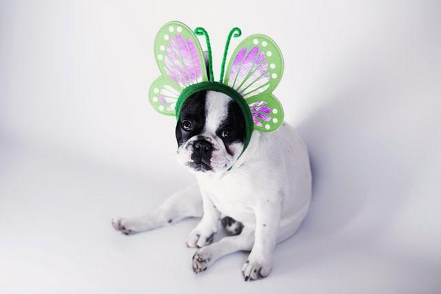 蝶々カチューシャをつけた犬