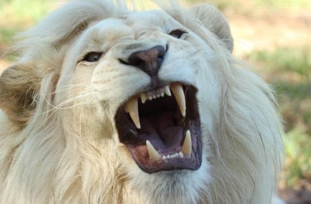 ミソるホワイトライオン