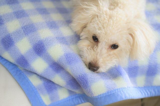 毛布に寝そべるワンコ