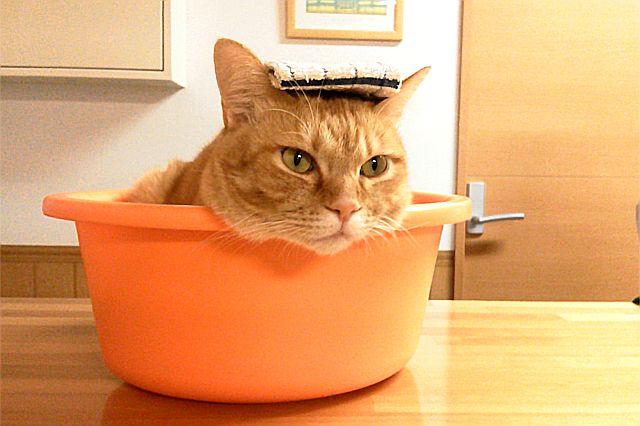 洗面器の中の猫
