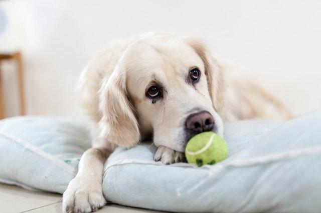 犬とテニスボール