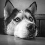 目で訴える犬(シベリアンハスキー)