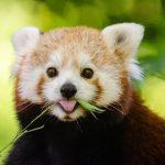 惰性で草を食うレッサーパンダ
