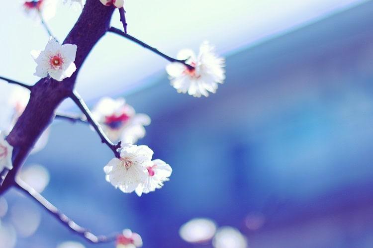 暖かい日差しに揺れる白い梅の花