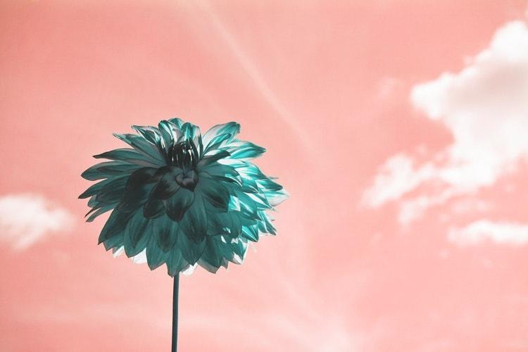 ピンク色の空に咲く花