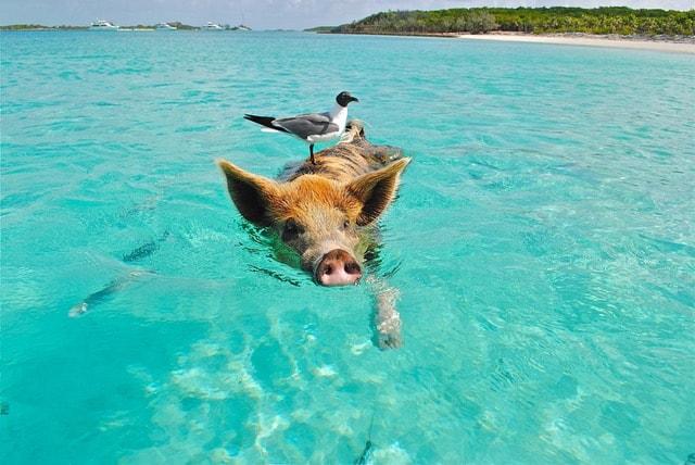 泳ぐブタとカモメ