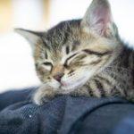 ソファで眠る子猫