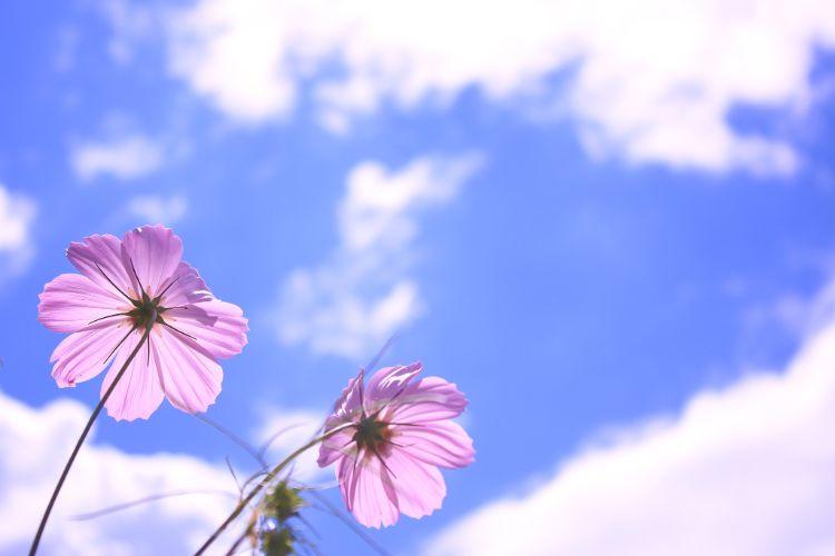 空に向かって咲いているピンク色の秋桜(コスモス)